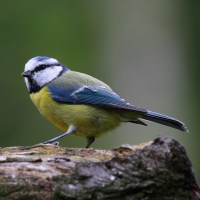 blue-tit-wild-bird-food-laverockhall-farm