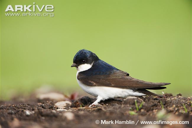 House martin portrait